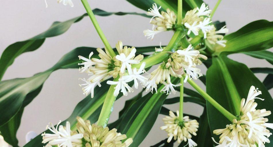 ドラセナ・マッサンゲアナ(幸福の木)の開花画像