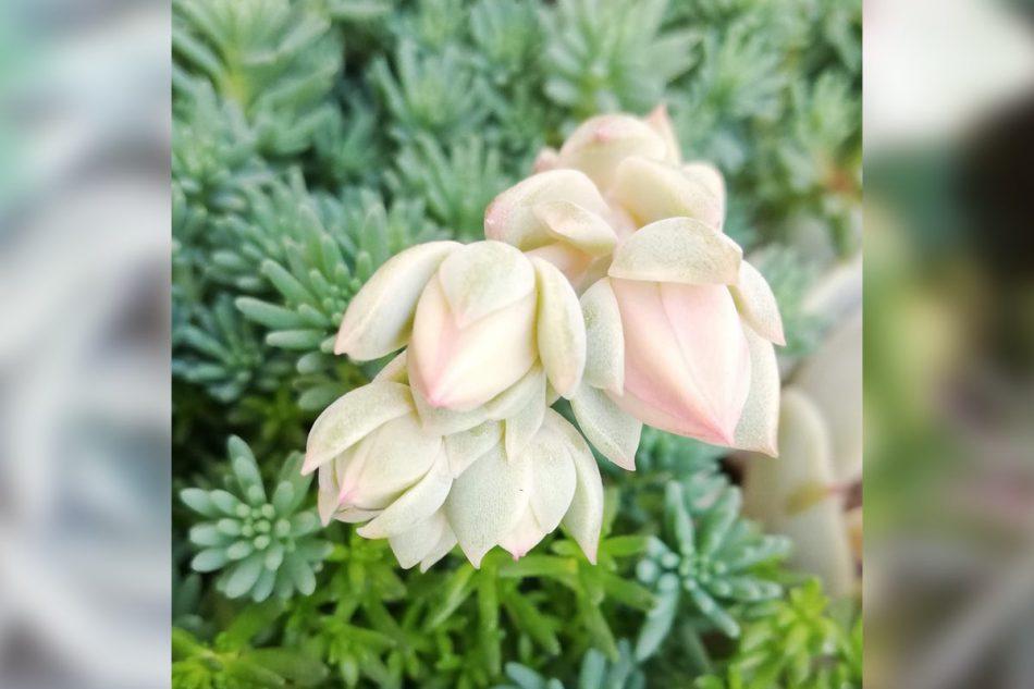 エケベリア・デレッセーナの花芽