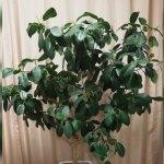フランスゴムの木(Ficus rubiginosa)| 育て方