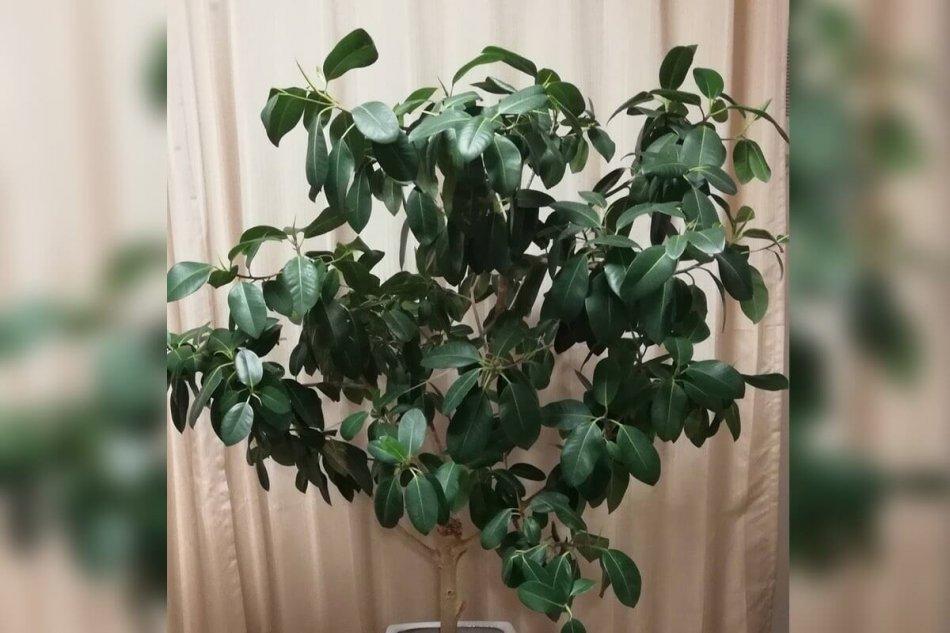 フランスゴムの木の画像