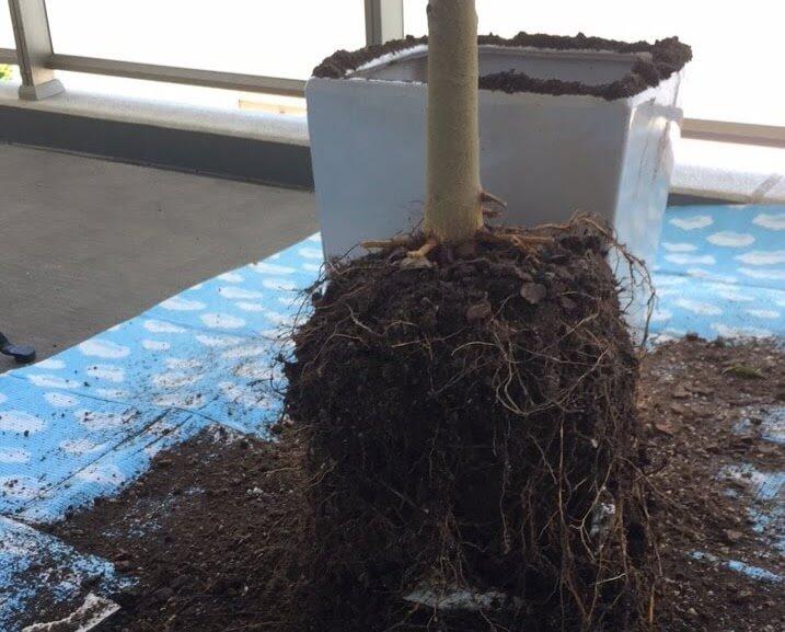 フランスゴムの木の植え替えの様子