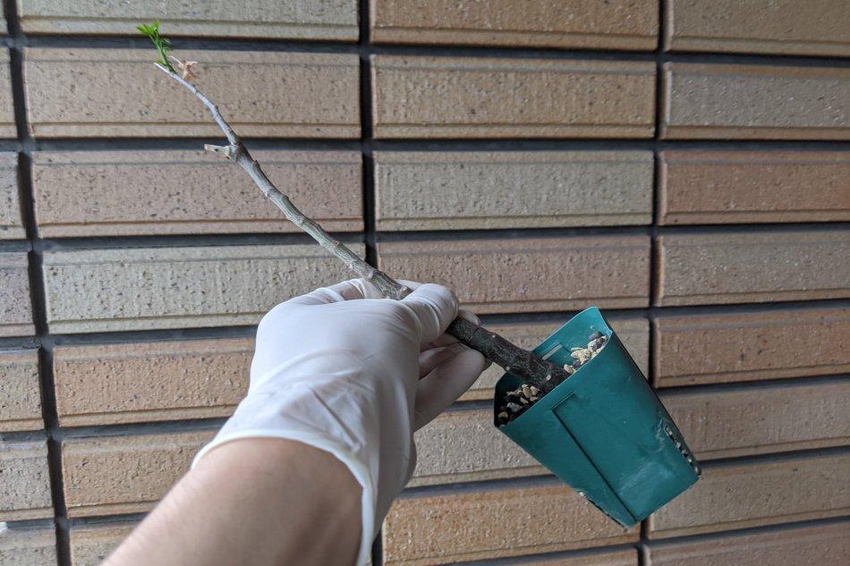 2020年5月9日に撮影したアデニア・グラウカの挿し木