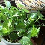 観葉植物ビギナー向け!ポトスの育て方