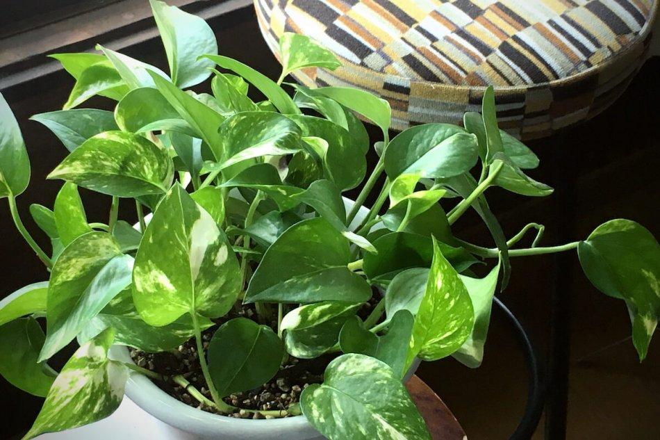 ポトスの育て方、つややかで美しい葉が特徴