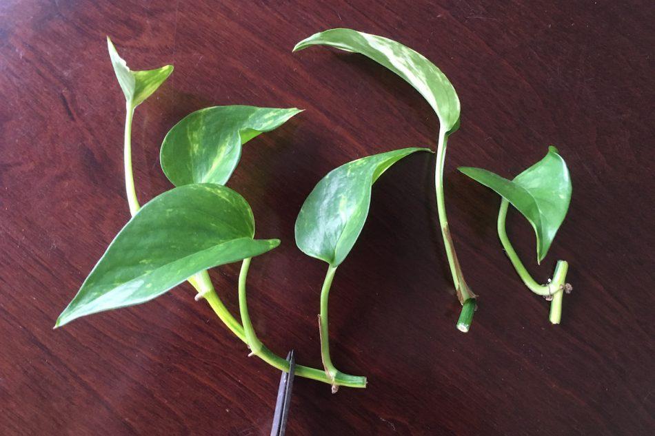 ポトスの増やし方。挿し穂で増やす。