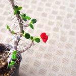 ユーフォルビア・原種系ハナキリン(Euphorbia