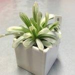 ハオルチア・白水晶(Haworthia cooperi v pilifera variegata)育て方