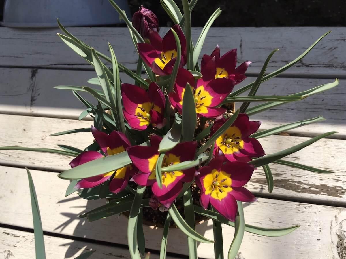 ミニチューリップ・ペルシアンパールの開花画像