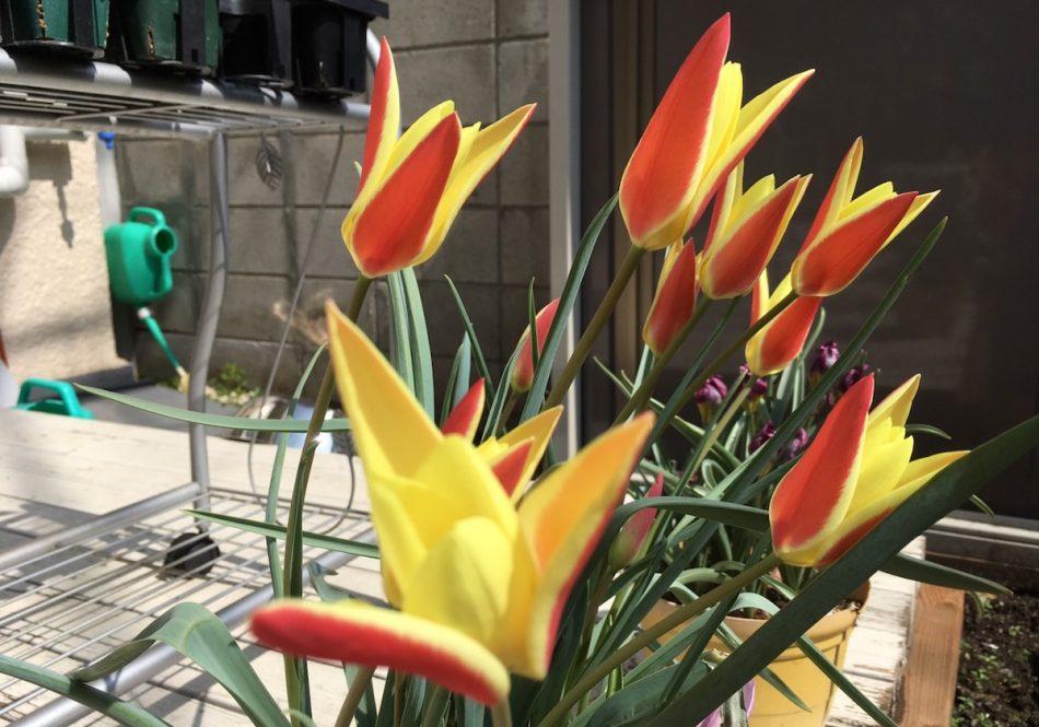 ミニチューリップ・ティンカの開花画像