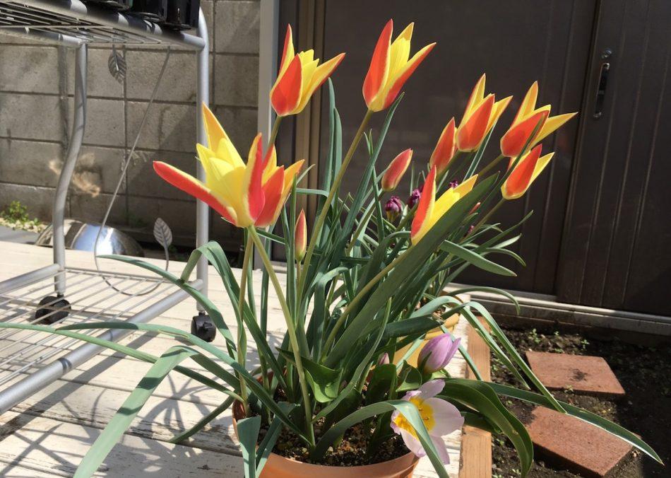 ミニチューリップ、ティンカとライラックワンダーの開花