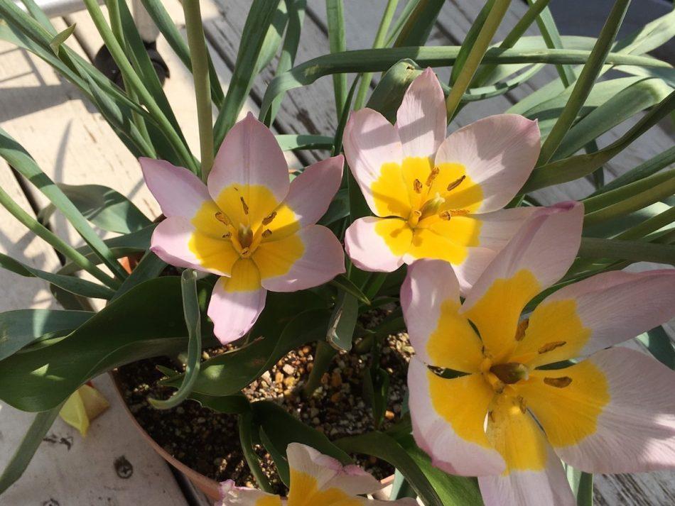ミニチューリップ・ライラックワンダーの開花画像