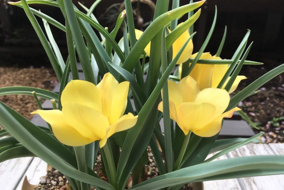 ミニチューリップ・ブライトゼムの開花