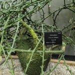アデニア属(Adenia)の種類と魅力、育て方