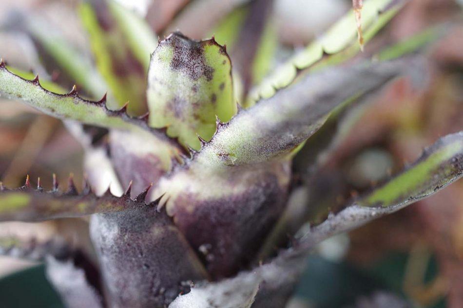カニストラム・トリアングラレ(Canistrum triangulare)の写真2
