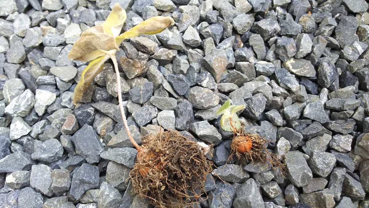 断崖の女王の植え替え、根の様子
