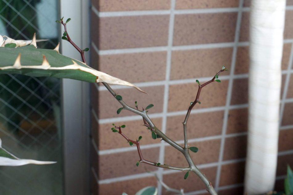 デカリア・マダガスカリエンシス(Decarya madagascariensis)の新しい枝と葉