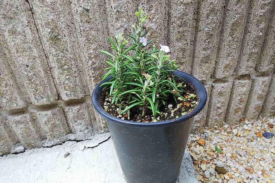 ローズマリーの挿し木を植え付け