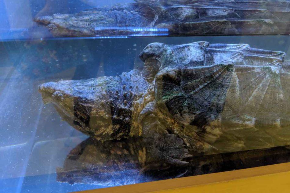 渋谷区ふれあい植物センターのワニガメ