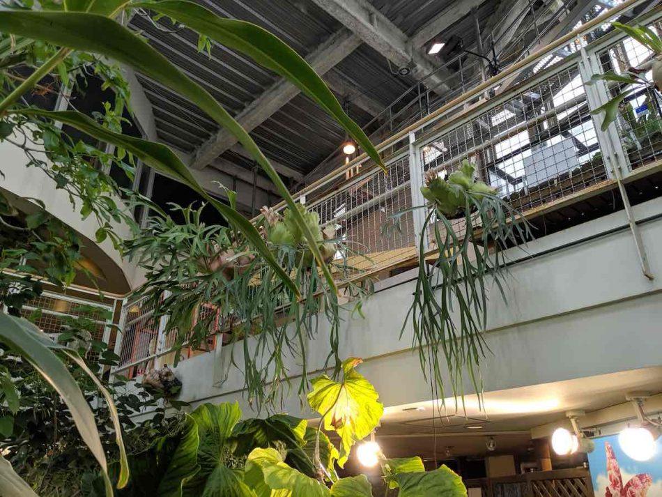 渋谷区ふれあい植物センターのビカクシダ。
