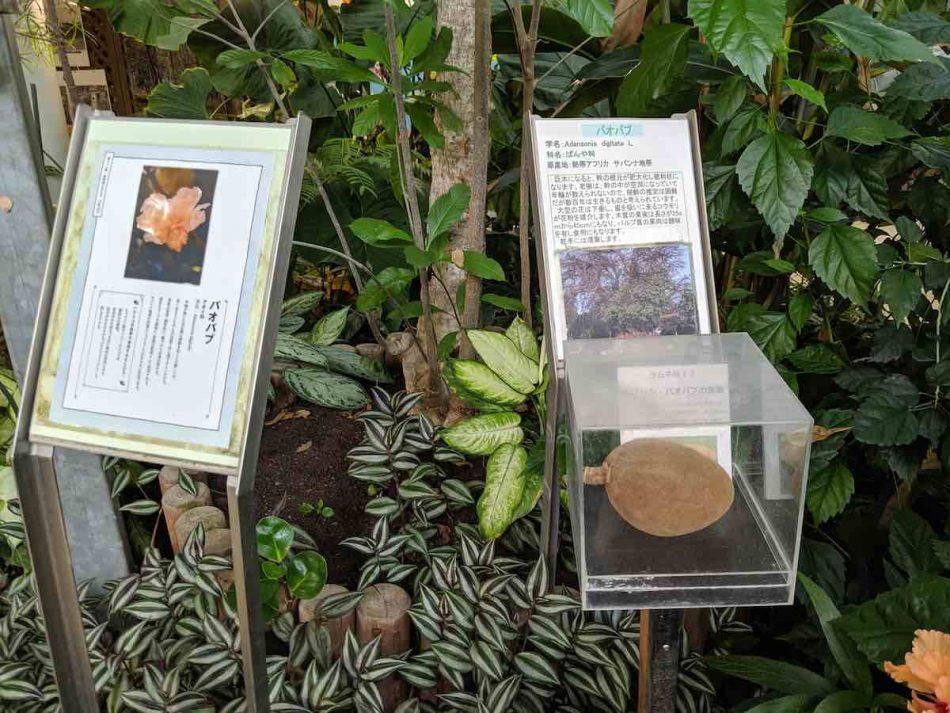渋谷区ふれあい植物センターのバオバブ展示