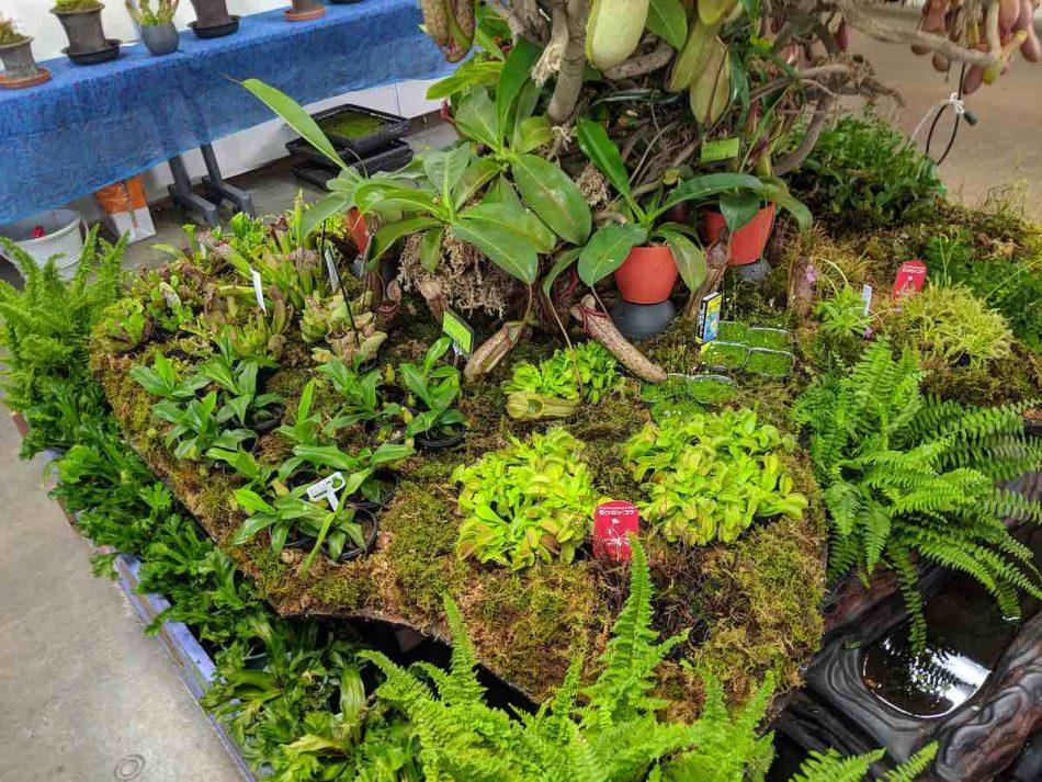 渋谷区ふれあい植物センターの企画展:食虫植物大集合