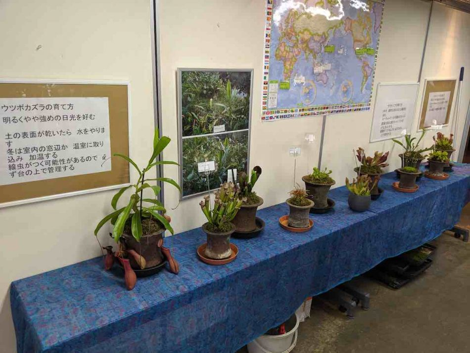 食虫植物の鉢植え展示