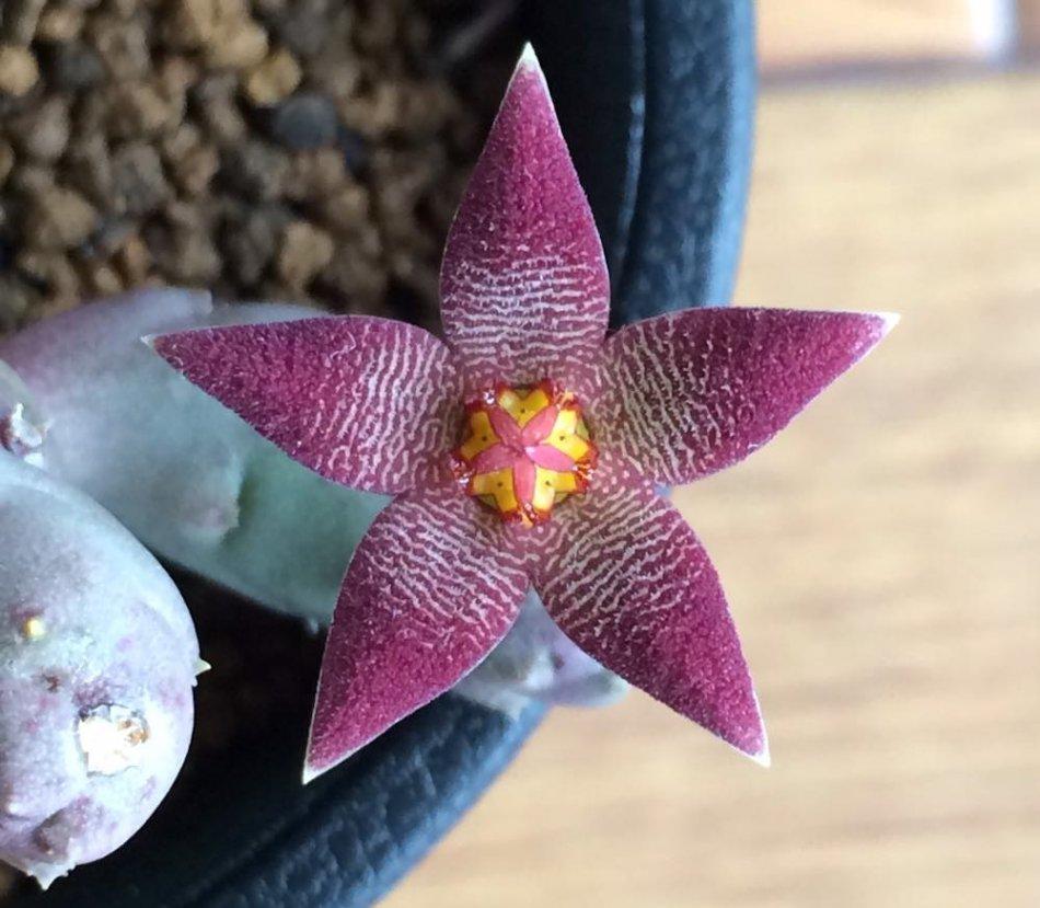 ゲミナータスの花の拡大画像