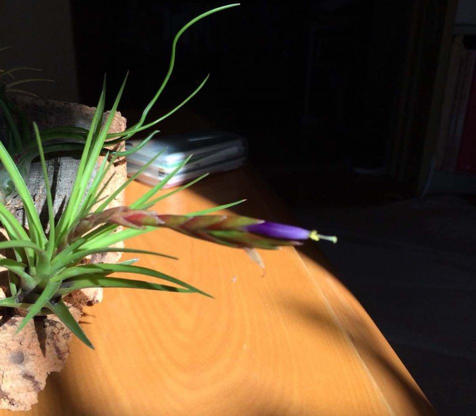 トリコロールメラノクラテルの開花の様子