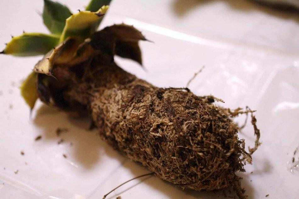 アガベの根は水苔で固められていた