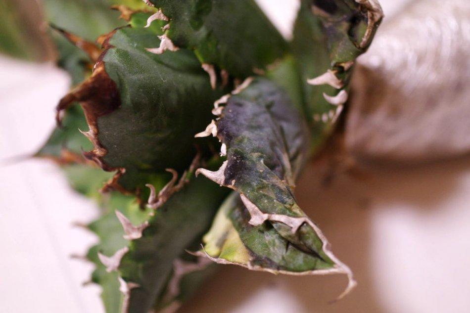 輸入したアガベの葉のダメージ