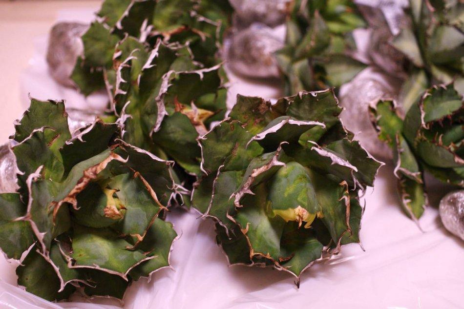 病気にかかっているアガベが輸入アガベに少し含まれる