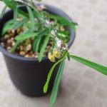 ユーフォルビア・サカラハエンシス(Euphorbia