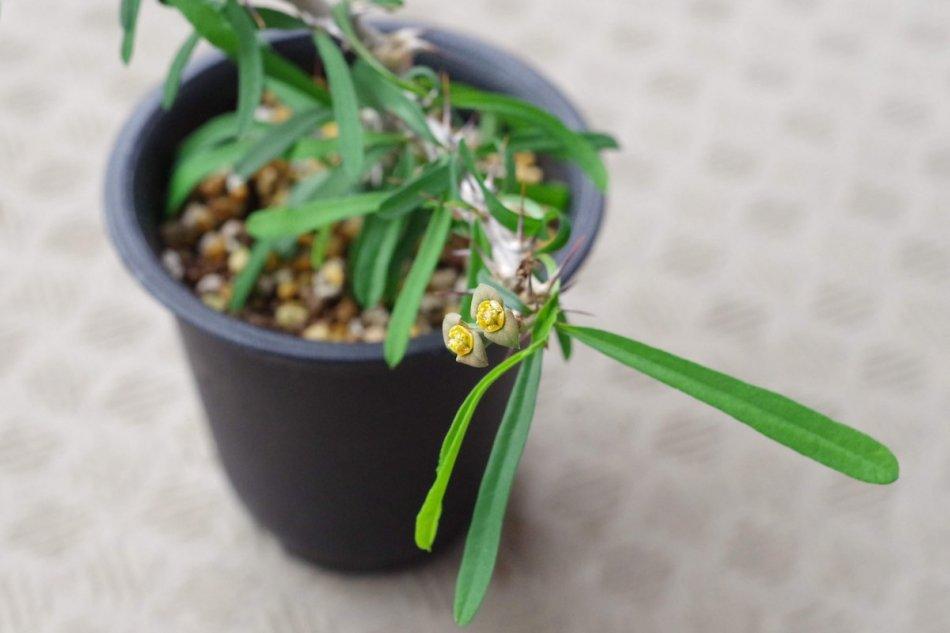 2019年5月20日に撮影したユーフォルビア・サカラハエンシス(Euphorbia sakarahaensis)