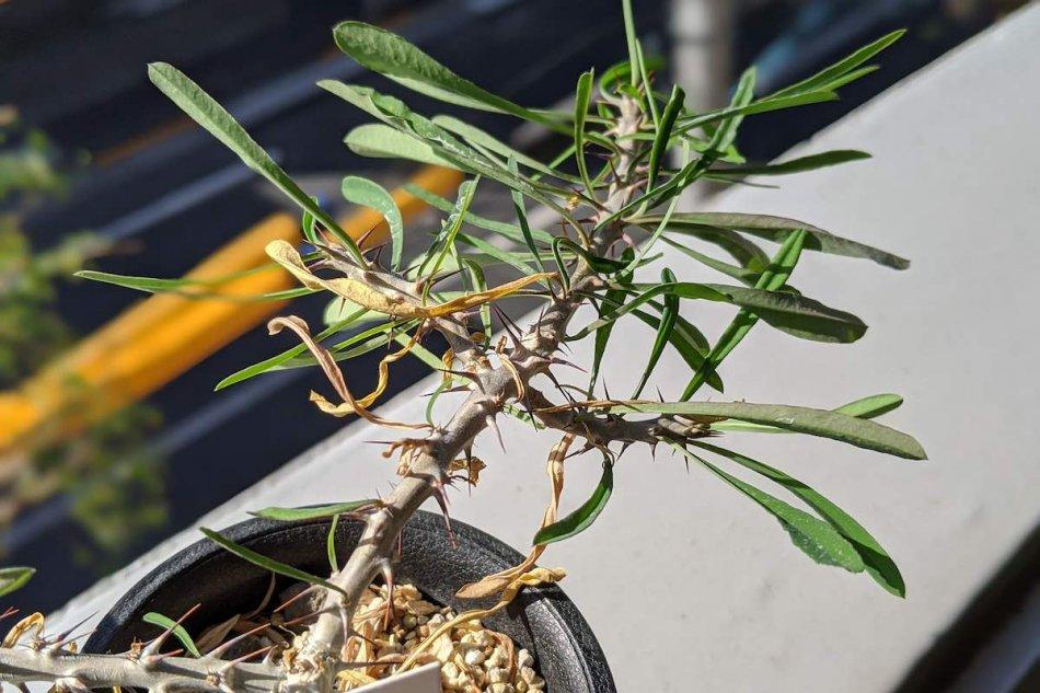 2019年11月15日に撮影したユーフォルビア・サカラハエンシス(Euphorbia sakarahaensis)