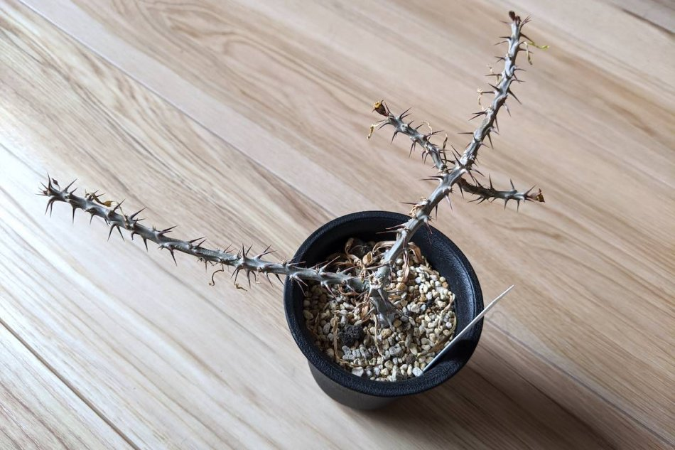2020年1月15日に撮影したユーフォルビア・サカラハエンシス(Euphorbia sakarahaensis)