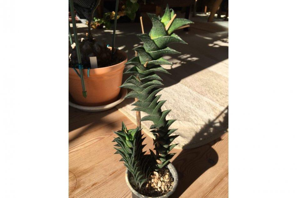 ハオルチア・ビスコーサ(Haworthia viscosa)の画像7