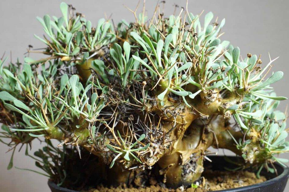 オトンナ・ユーフォルビオイデス(othonna euphorbioides)の接写写真1