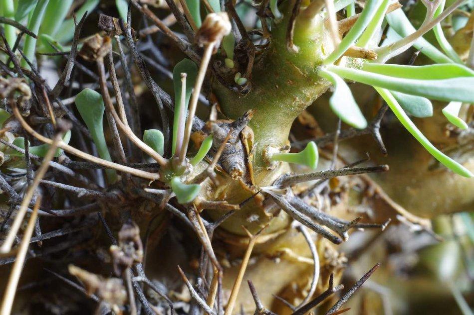オトンナ・ユーフォルビオイデス(othonna euphorbioides)の接写写真2