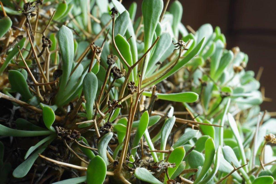 オトンナ・ユーフォルビオイデス(othonna euphorbioides)の接写写真5
