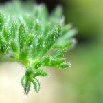 接写な。Pelargonium