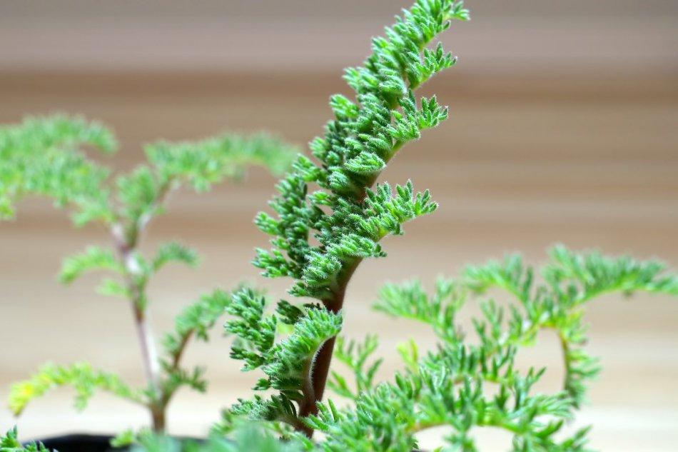 macro pelargonium triste(ペラルゴニウム トリステ)5