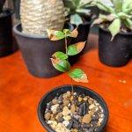 ジャボチカバを実生苗から育ててみる、成長記録