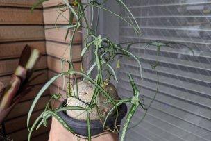 アデニア・キルキー(Adenia kirkii)の画像