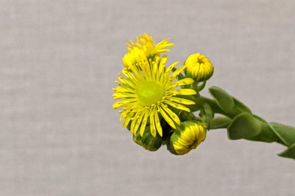 ドドランタリスが開花した様子