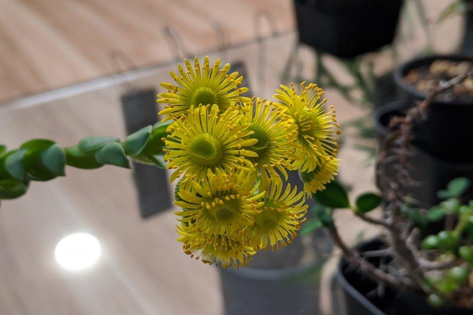 2020年4月3日に撮影したドドランタリスの花