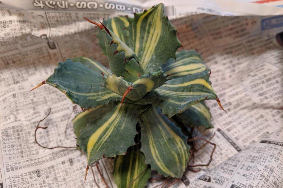 Agave isthmensis variegata 'YOUKIHI' on July 7, 2019