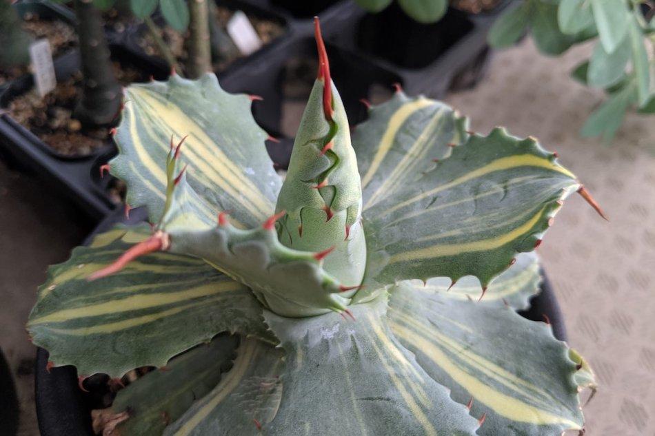 Agave isthmensis variegata 'YOUKIHI' on August 10, 2019