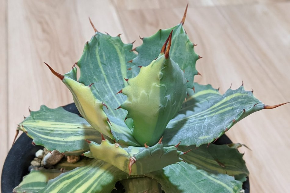 Agave isthmensis variegata 'YOUKIHI' on February 24th, 2020