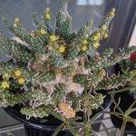 ユーフォルビア・ガムケンシス(Euphorbia