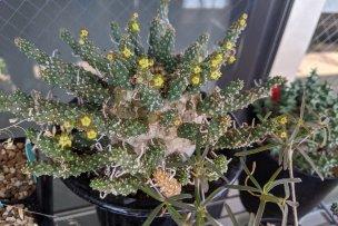 2019年8月7日に撮影したユーフォルビア・ガムケンシス(Euphorbia gamkensis)